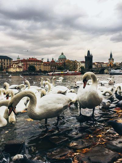 Prague swans