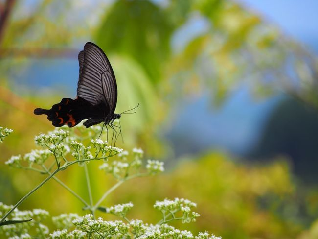 優しい夢を… アゲハ蝶 Butterfly Collection Butterfly - Insect Insect Photography Insect On A Flower Insect Collection Insects Beautiful Nature Eyemphotography EyeEm Nature Lover EyeEm Gallery EyeEm Best Shots Beauty In Nature EyeEm Best Shots - Nature