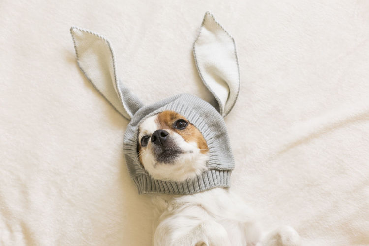 Portrait of dog wearing bunny hat on bed