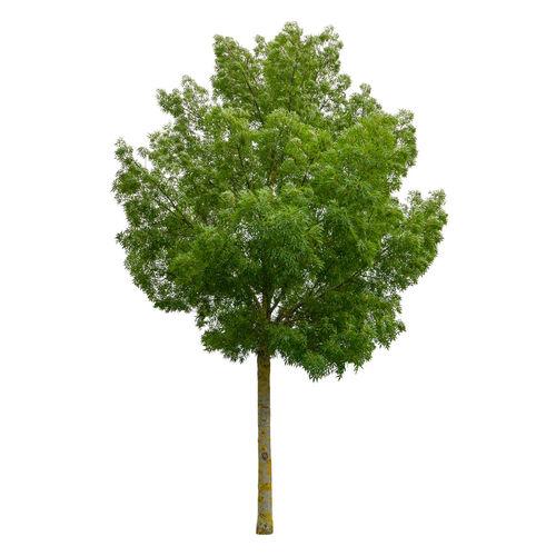 Tree against white background