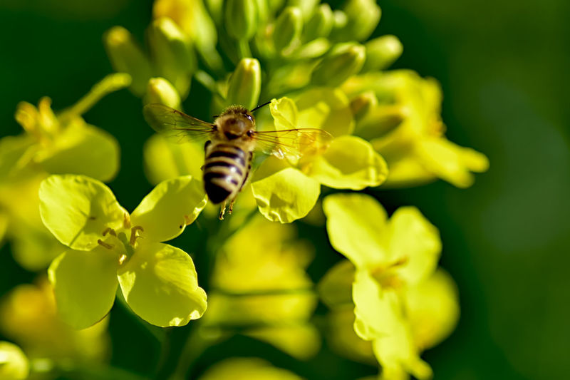Flower Flowering Plant Insect Fragility Invertebrate Vulnerability  Plant Beauty In Nature Animal Animals In The Wild Animal Wildlife Animal Themes Growth Close-up One Animal Freshness Petal Bee Selective Focus Flower Head No People Pollination Outdoors
