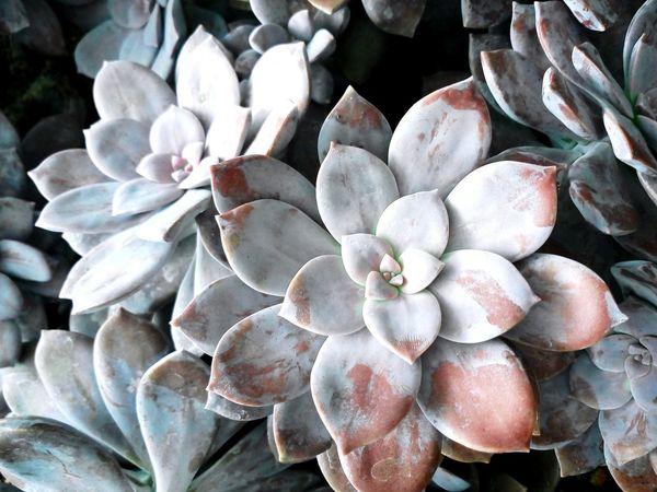 Beauty In Nature Cactus Flower Day Nature No People Close-up Outdoors Textured  Nature_collection Purple Calandiva Calandivas Succulent Plant Succulents Succulent