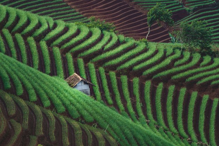 High angle view of green onion plantation