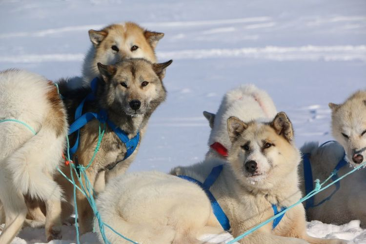 Animal Themes Arctic Cold Temperature Day Dog Dog Love Field Greenland Husky Mammal Mountians Nature No People Outdoors Pets Siberian Husky Sky Sled Dog Sled Dog Puppies Snow Winter Winter