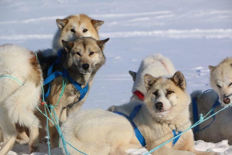 Huskys On Snow Field Against Sky