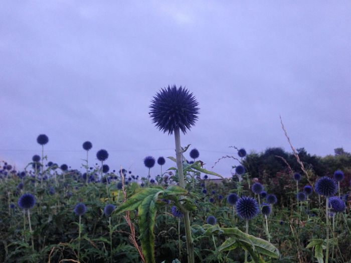 View of thistle against blue sky