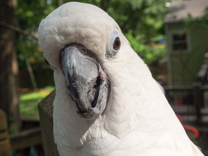 Clara the cockatoo Cockatoo Feathers Animal Themes Beak Bird Close-up Cockatoo Day Domestic Animals Exotic Pets Focus On Foreground Leafy No People One Animal Outdoors Parrot Pets Portrait White Color
