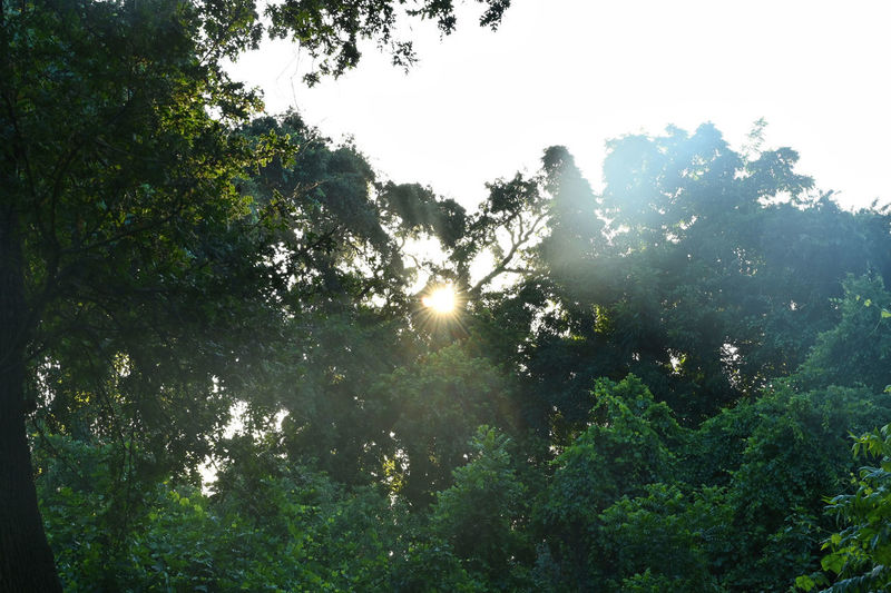 Tree Plant Beauty In Nature Growth Sunlight Sky Tranquility Nature Forest No People Tranquil Scene Scenics - Nature Land Green Color Day Sun Sunbeam Non-urban Scene Outdoors Sunny Lens Flare Streaming Rainforest Solar Flare Brightly Lit