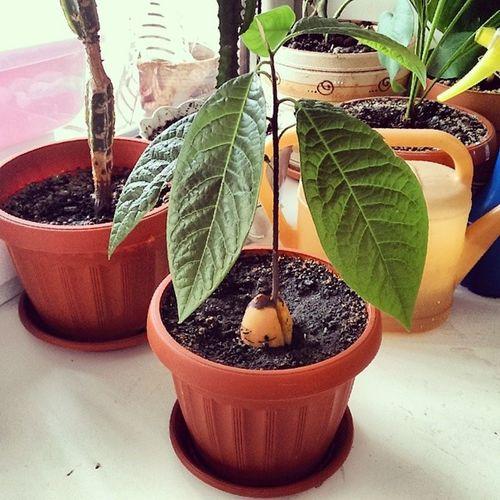 Давно не постила авокадо Растёт чертяка! авокадоизкосточки огород