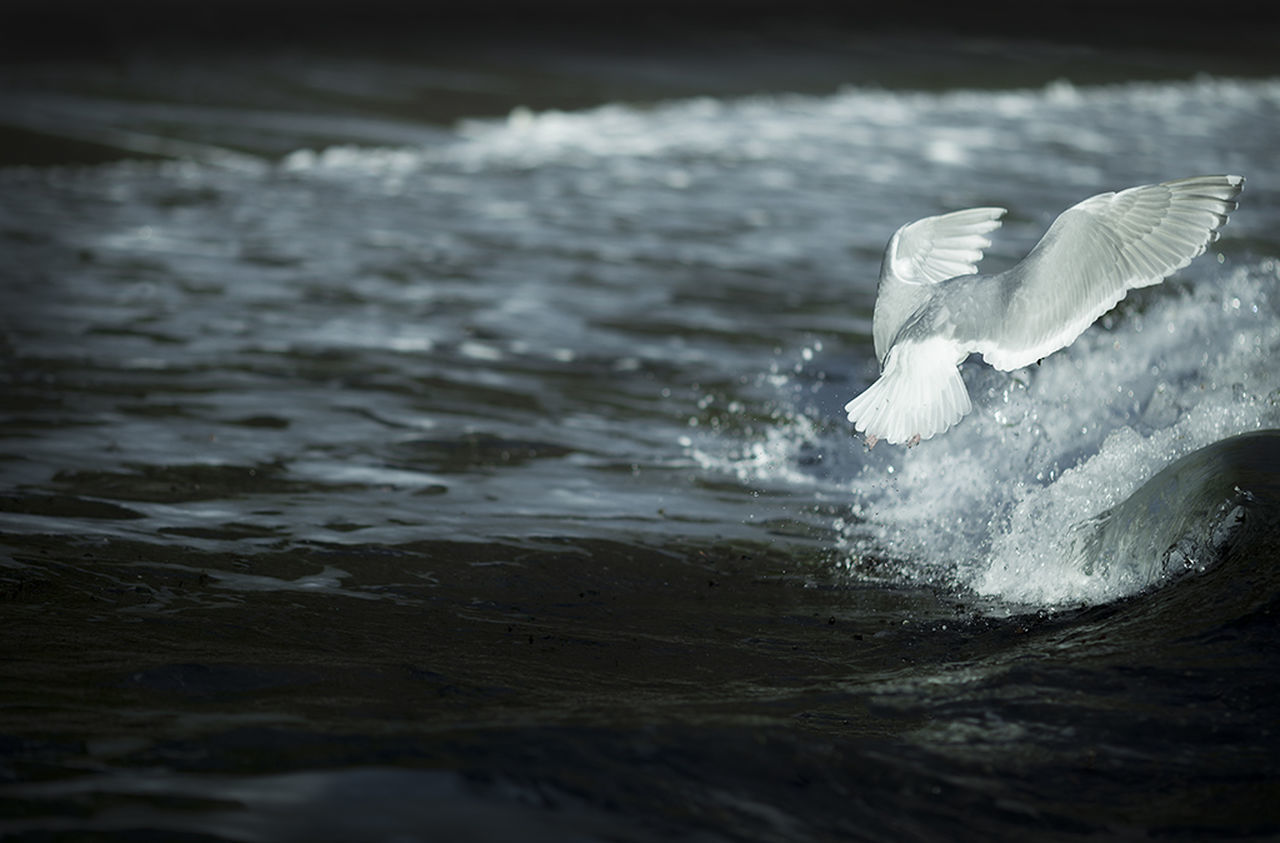 CLOSE-UP OF BIRD FLYING IN WATER