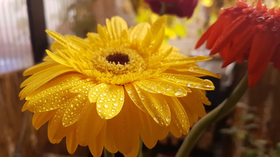 Close-up of wet yellow flower