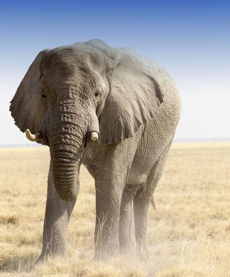 A huge african