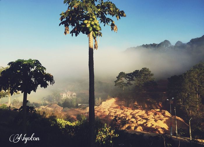 Tây nguyên Viet Nam Dalat Lam Dong, Viet Nam Tree Plant Sky Nature Growth Clear Sky No People Day Sunlight Beauty In Nature