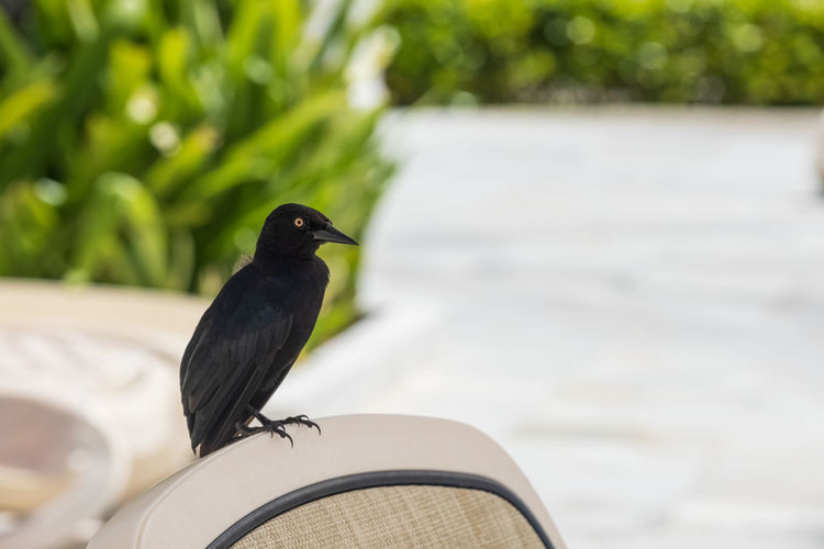 Animal Themes Animal Wildlife One Animal Bird Vertebrate Day Focus On Foreground Perching Black Color No People Green Color Nature Close-up Outdoors Selective Focus Side View Beak Plant Tropical Bird Caribbean The Americas Grackle Greater Antillean Grackle Deck Chair Curiosity