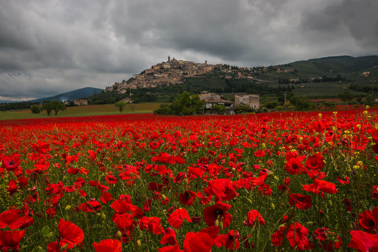 Romantic view of medieval Trevi village in umbria with beautiful field of red poppies on rainy day Poppy Poppy Flowers Trevi Umbria Landscape Landscape_Collection Agriculture Agricultural Field Rural Scene Medieval Village Architecture Umbria, Italy Umbrian Landscape Ambient Poppies  Poppies Field Blooming Bloom Flower Wanderlust Travel Destinations Italy Europe Card Hill Urban Landmark Amazing View Panorama Paradise Fantastic Flowering Plant Beauty In Nature Cloud - Sky Plant Sky Red Freshness Nature Growth Land Mountain Vulnerability  Environment Fragility Scenics - Nature Field Tranquility Tranquil Scene No People Flower Head Outdoors Flowerbed