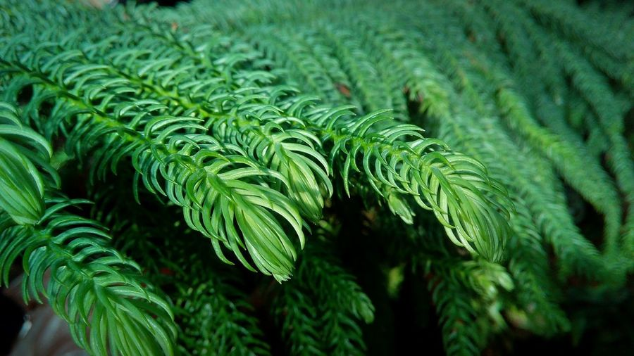 Leaf Social Issues Close-up Plant Green Color Botanical Garden Pine Tree Plant Life Evergreen Tree Pine Cone Pine Woodland Botany Plant Part Coniferous Tree Pinaceae Pine Wood Lush - Description Fern Needle - Plant Part Spruce Tree