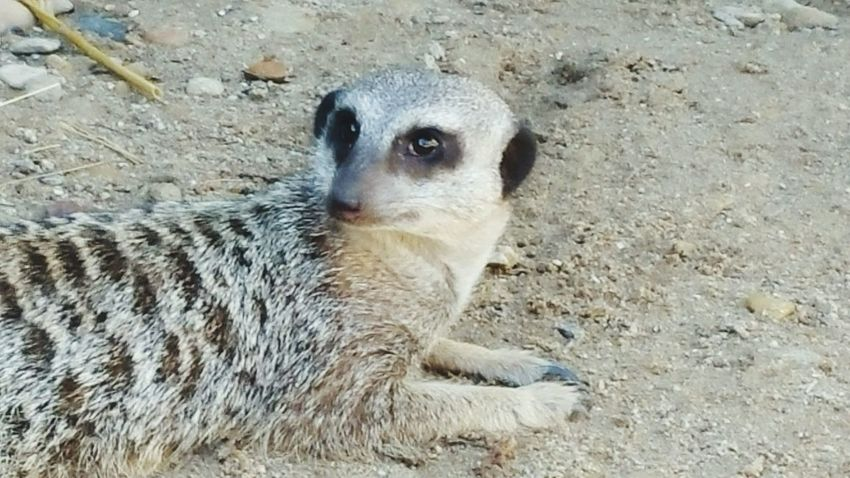 Meerkat Wildlife Animal Themes