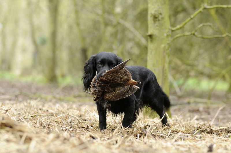 Animal Themes Cocker Spaniel  Dogs Dogs Of EyeEm Gundogs No People One Animal Outdoors Working Dog