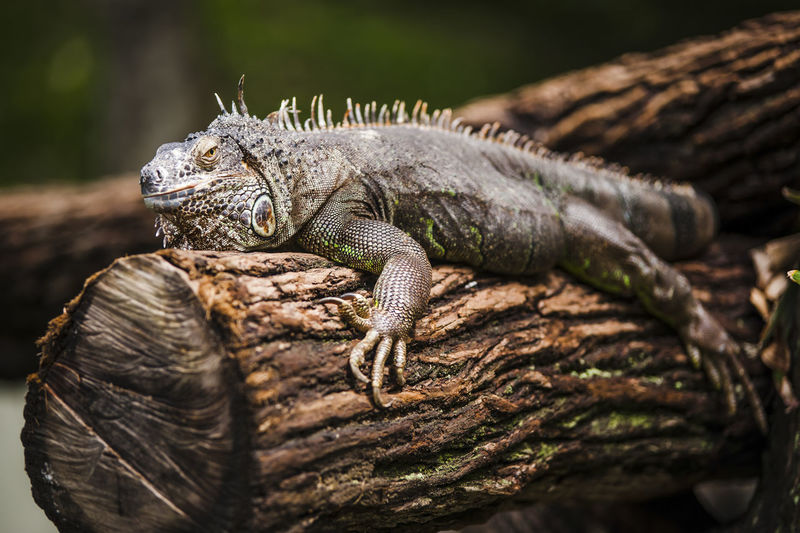 Close-up of iguana relaxing on wood at zoo