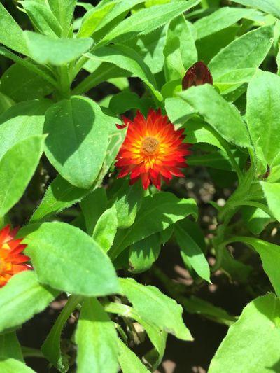 Flower Red Flower