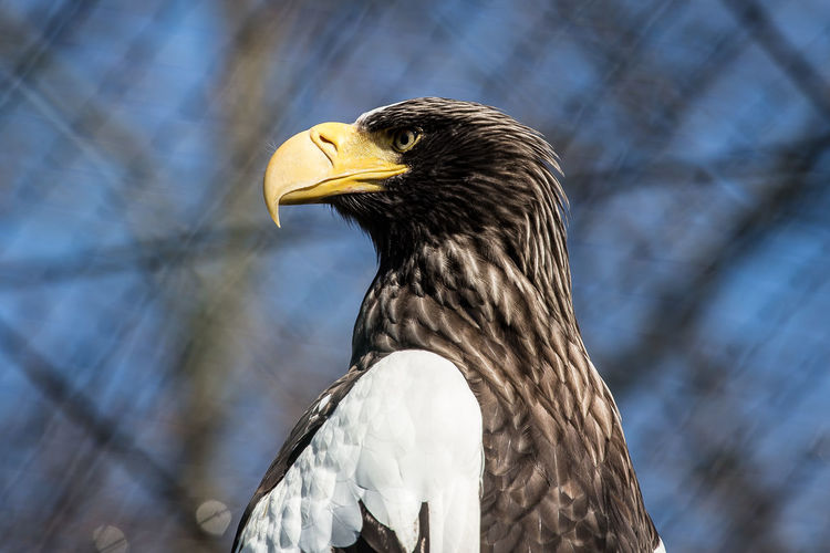 Close-up of stellers sea eagle looking away