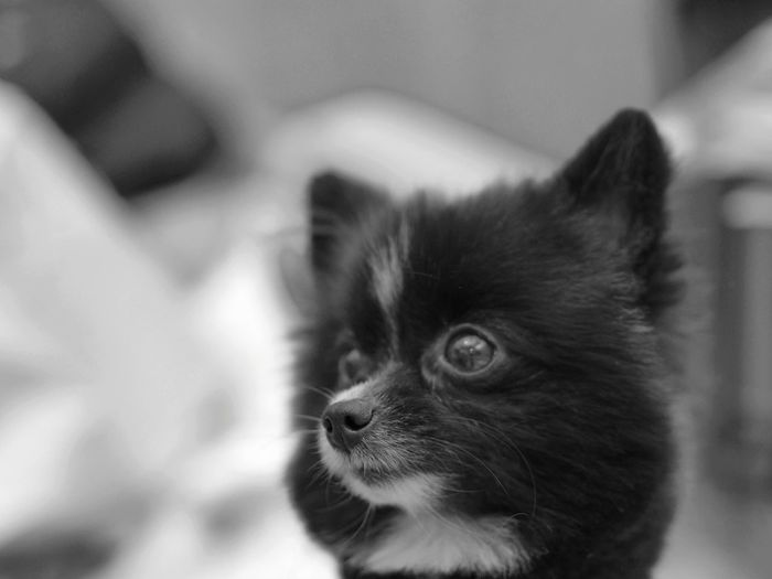 Pomeranian Dog Mammal Indoors  Domestic Animals Pets Pet Portraits