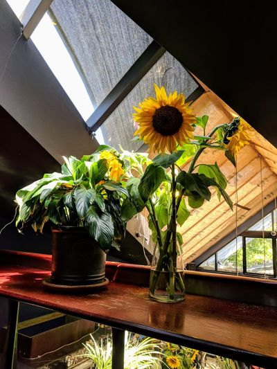 sunflower Flower Table Window Home Interior Vase Close-up Plant Window Sill Flower Pot
