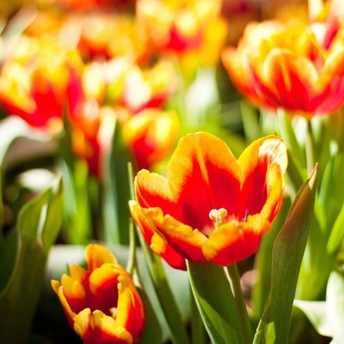 Tulips Flower Petal Freshness Flower Head Beauty In Nature Nature Fragility Growth Blooming Plant Focus On Foreground Outdoors Day No People Close-up
