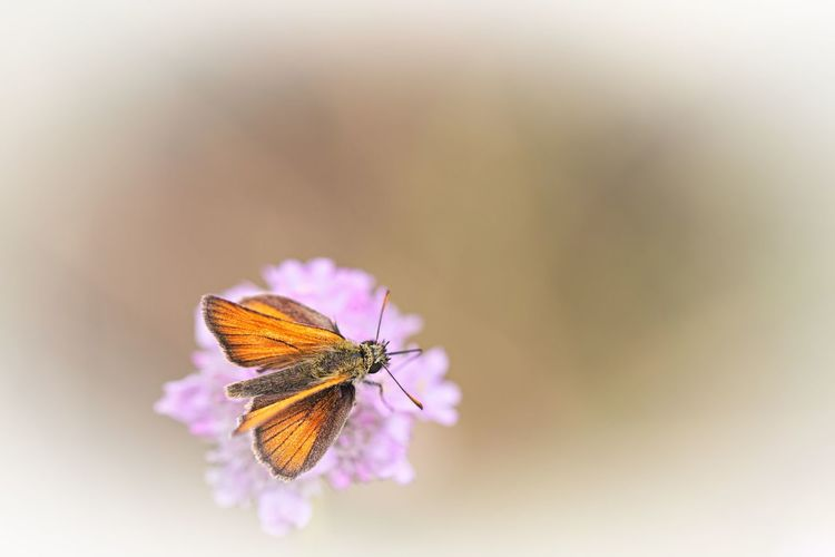Insect Beauty In Nature Flower Animal Wildlife Animal Wing Animal Themes Animals In The Wild Fragility Close-up Butterfly - Insect Petal Vulnerability  One Animal Nature Flower Head Butterfly Purple Animal Natural Beauty Bokeh Animal Photography Nature Photography Nature_collection Lovely Scenics - Nature Insect Photography Insect Paparazzi Flower Photography Flowers, Nature And Beauty Beautiful Beautiful Nature