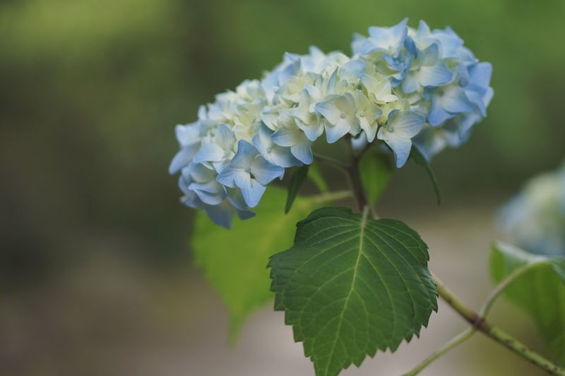 Blue Rainy Days Plant Leaf Growth Plant Part Close-up Hydrangea Green Color Flower Petal Nature