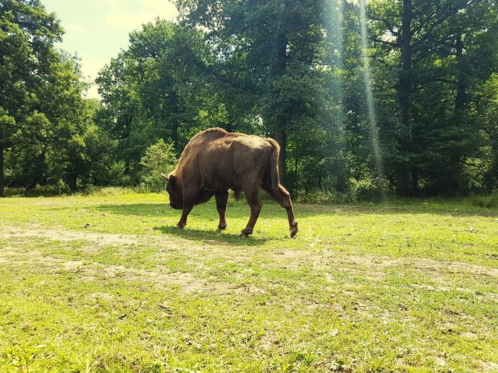 Wildlife Wildlife & Nature Aurochs Natural Beauty Tree Grass Green Color Field Grass Area Growth