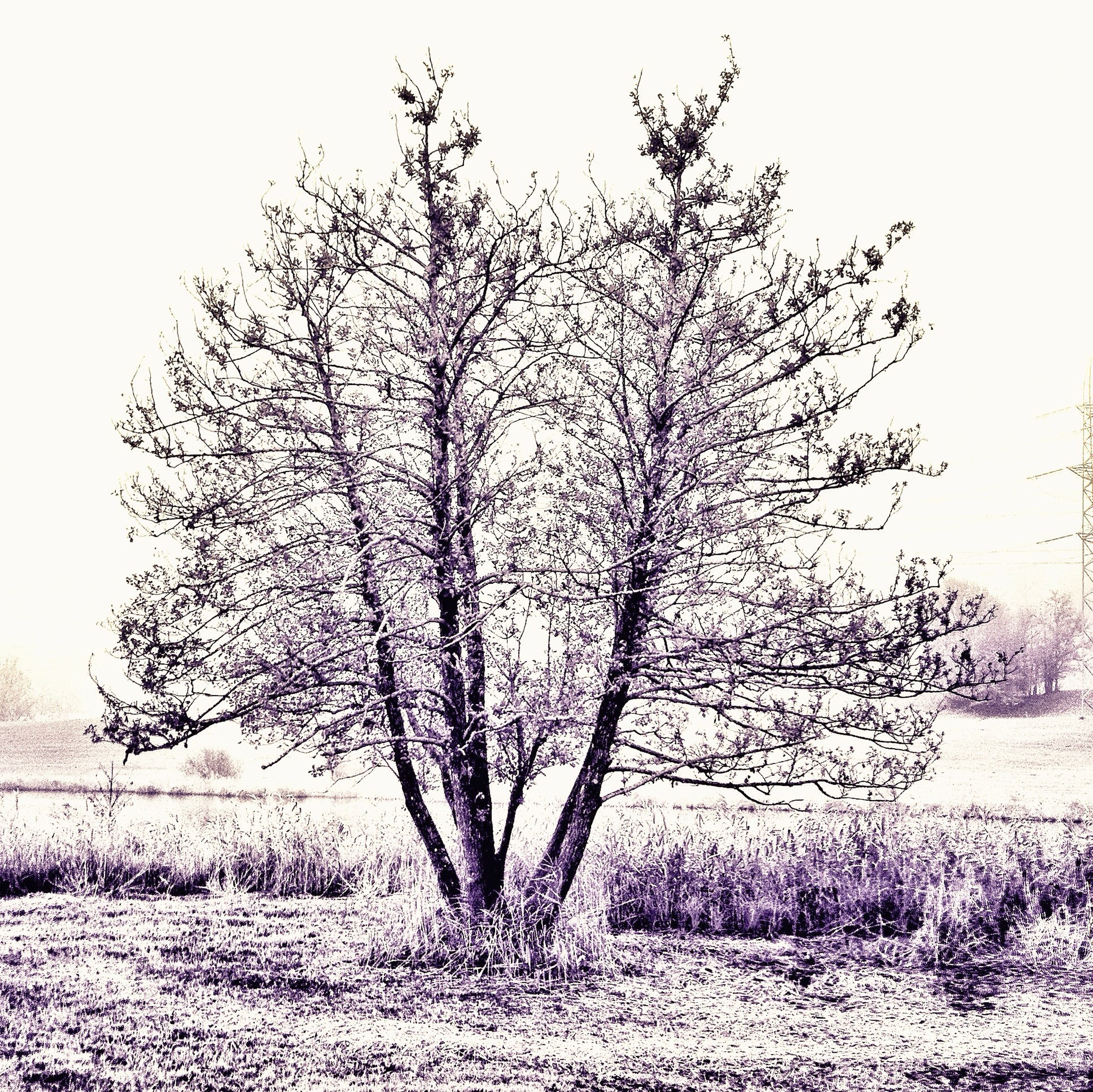 bare tree, tree, branch, field, nature, tranquility, clear sky, dead plant, landscape, growth, tranquil scene, day, single tree, tree trunk, beauty in nature, outdoors, sky, no people, grass, plant