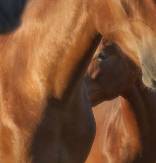 Pura Raza Española Horse Caballos España
