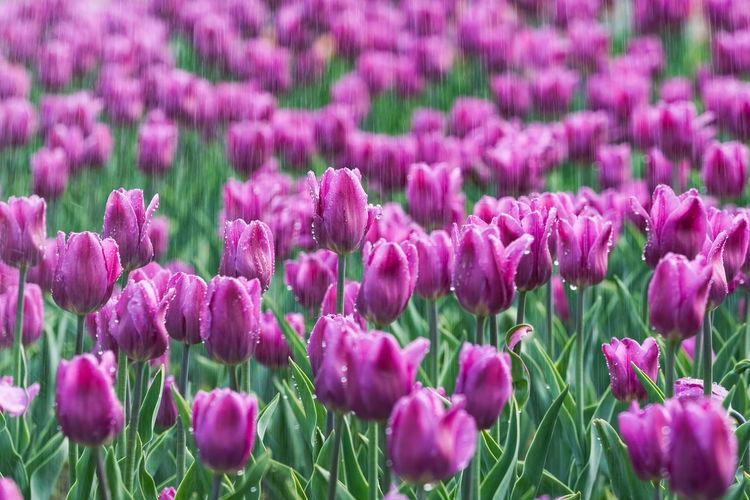 雨雾中的郁金香,,, Backgrounds Beauty In Nature Close-up Flower Flower Head Flowering Plant Freshness Gardening Growth Inflorescence Land No People Ornamental Garden Petal Pink Color Purple Springtime 明亮 白天 美丽 色彩 草丛 郁金香 雨 EyeEmNewHere
