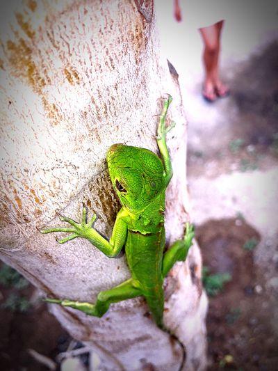 Green Iguana Ecuador♥ Añonuevo Regalo Crucita ReleaseTheBeast