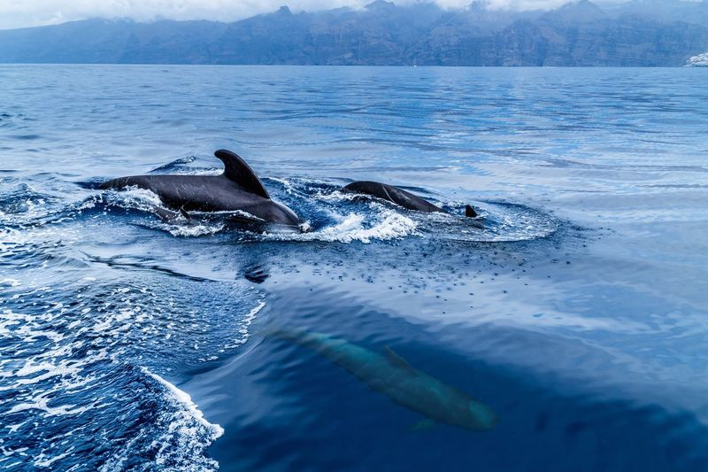 Animals In The Wild Sea Animal Wildlife Animal Themes Water Sea Life Nature Whale Beauty In Nature Swimming Tenerife Holiday Connected By Travel