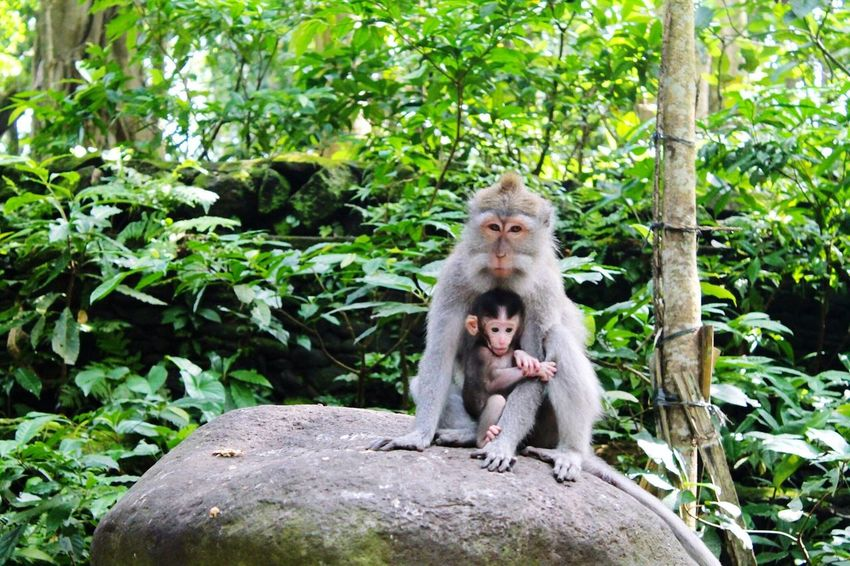 Bali Bali, Indonesia Monkeys Monkey Forest Ubud, Bali Mum And Baby Green Eyeem Collection The EyeEm Collection