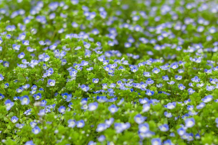 Veronica filiformis (Slender speedwell) in natural habitat. Background Blossom Blue Bokeh Bright Chamaedorea Delicate Flowers Fresh Gardens Germand Grass Green Meadow Nature Petals Seasonal Slender Speedwell Spring Springtime Tiny Veronica Vibrant Wildflowers
