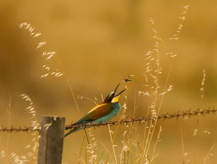 Animal Themes Animals In The Wild Bee-eater Bird Photography Bird With Food Bird With Vibrant Colors Birds With Red Eyes European Bee-eater European Birds Nature Nature Photography No People Western Palearctic Wildlife & Nature Wildlife Photography