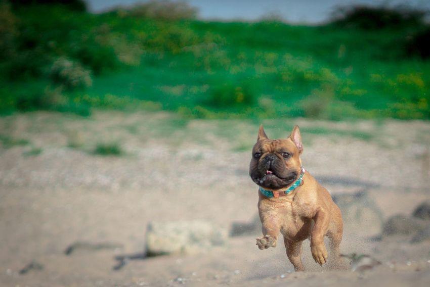 Französische Bulldogge  Hundefotografie Tierfotografie Dogs Of EyeEm Hundeportrait EyEmselect Düsseldorf Hunde Butsosexy Dogs Dogs Life #hundefoto EyeEm Selects Pets Dog Beach Summer Sand Water Animal Themes Grass