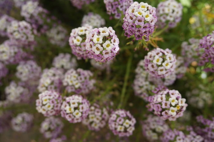 Alyssum Close-up Full Frame Flower Head Flower Pink Color Lilac Close-up Plant Flowering Plant Botany In Bloom Blooming Plant Life
