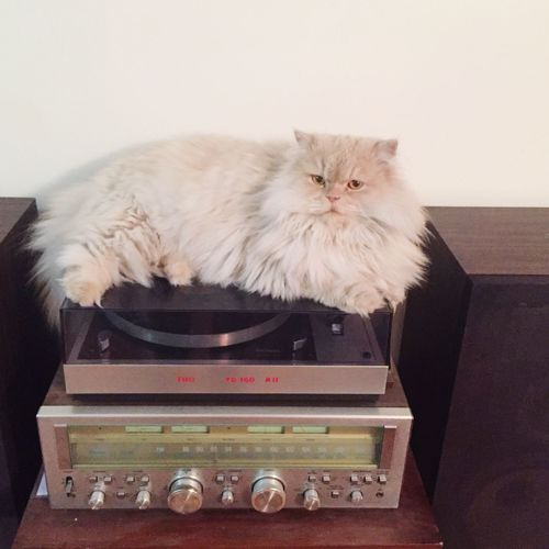 Persiancat My Pet Gramophone such a stupid place to sit