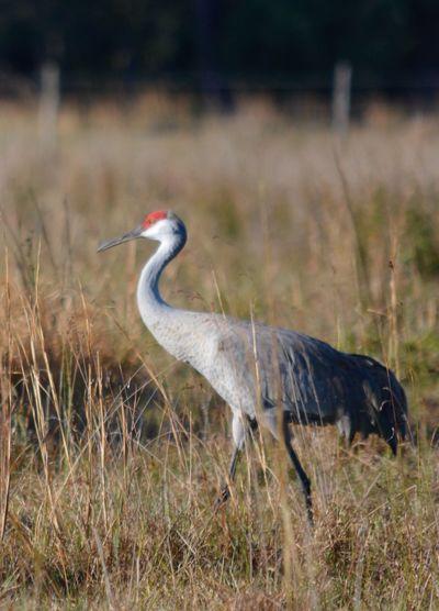 Sandhill Crane One Animal Animals In The Wild Animal Themes Bird Grass Focus On Foreground Nature Field Animal Wildlife Outdoors