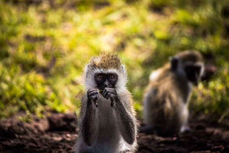 Portrait of young langur