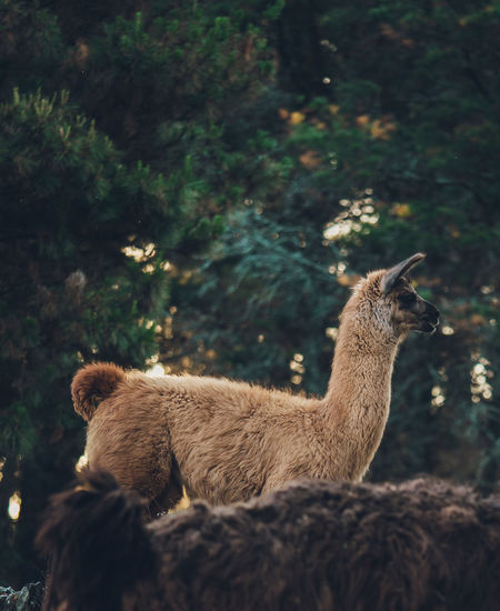 Llama standing on a forest