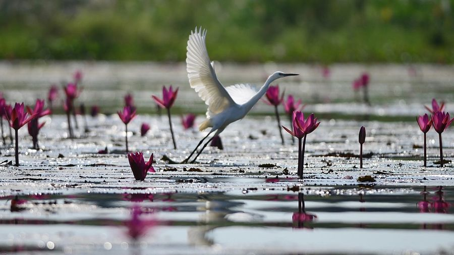 Bird Animal Themes Animal Wildlife Vertebrate Animals In The Wild Animal Flying Lake Flower Plant Water Pink Color Selective Focus Flowering Plant Spread Wings Beauty In Nature No People Nature Group Of Animals Outdoors