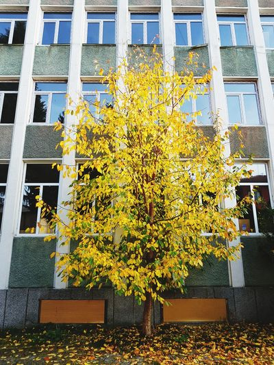 Yellow tree Tree Windows Leafs 🍃 Plant Bulgaria Leaf 🍂 Nature City Urban Fall Autumn Contrast Tryavna Flower Yellow Architecture Built Structure Autumn Mood