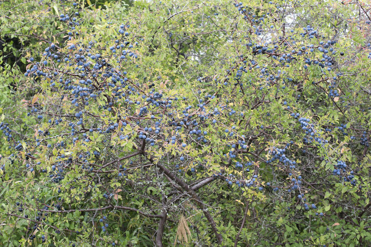Blackthorn berries Amager Fælled Autumn Autumn colors Prunus Spinosa Urban Nature Beauty In Nature Blackthorn Berries No People Outdoors Sloe Tree