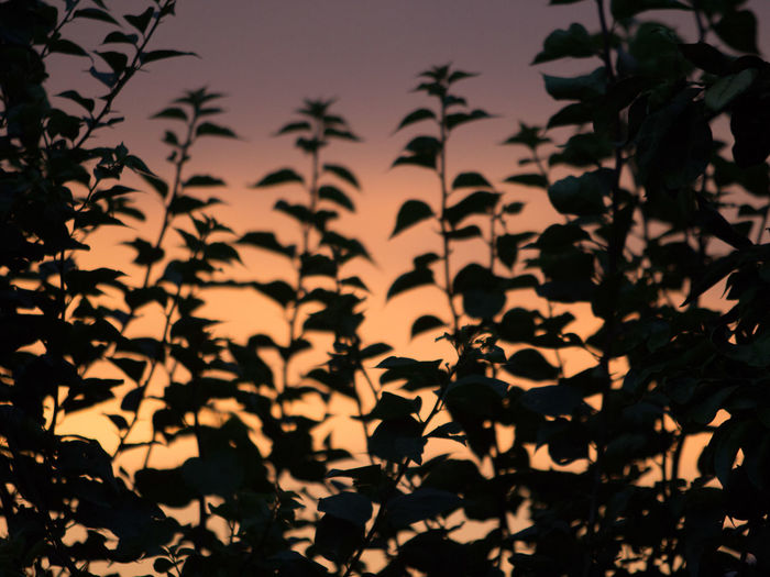 Close-up of silhouette plants against sky at sunset