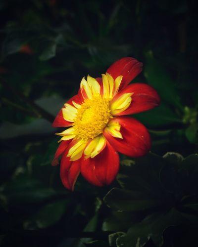Flower Flowering Plant Fragility Vulnerability  Freshness Beauty In Nature Plant Focus On Foreground Pollen Red Day No People Yellow Nature Growth Close-up Flower Head Inflorescence Petal